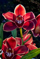 Maroon Orchid