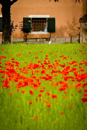 Window and Poppies